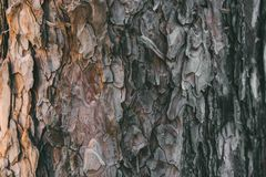 Free Bark Of Pine Tree Texture And Background. Close Up View Of Old And Rough Pine Bark. Stock Photos - 142441563
