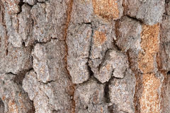 The bark of old birch Royalty Free Stock Photo