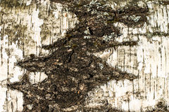 The bark of old birch tree texture Royalty Free Stock Photos