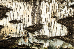 The bark of old birch tree texture Royalty Free Stock Images