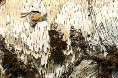 The bark of old birch tree texture Stock Photography