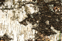 The bark of old birch tree texture Royalty Free Stock Image