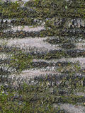 Bark of old cherry (Cerasus avium) with mosses Stock Photography