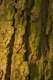 Bark of old conker tree Stock Photography