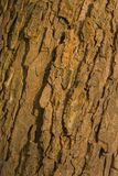 Bark of old conker tree Royalty Free Stock Photos