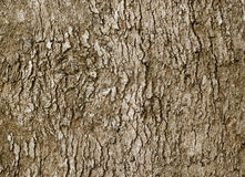 Bark of old deciduous tree - natural background Royalty Free Stock Photo