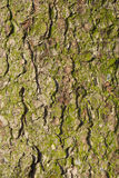 Bark of old fir tree. Royalty Free Stock Images