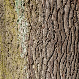 Bark of an old oak Stock Photo