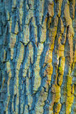 Bark of an old oak tree Royalty Free Stock Image