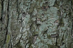 Bark. Of an old park tree, covered with lichen Stock Images