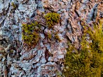 Texture of old pear bark with green moss stock photo