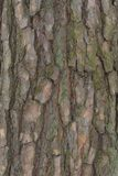 The bark of old pine trees royalty free stock images