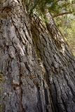 Bark of old pine trees Stock Images