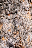 Bark of old rough tree Royalty Free Stock Photography