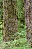 Bark from an old specimen Douglas fir Stock Photography
