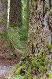 Bark from an old specimen Douglas fir Stock Photos