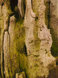 Bark of old tree. Closeup of wooden bark on old Willow tree royalty free stock images