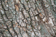 Bark of old tree. Bark of old tree with blue lichen close-up stock images