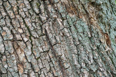 Bark of old tree. Bark of old tree with blue lichen close-up stock photography