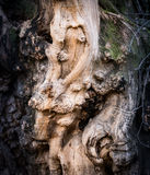 Bark of old tree. Royalty Free Stock Photography