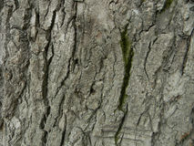 Bark of an old tree with a green moss. Poplar. Use as a background Royalty Free Stock Photography