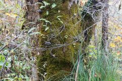Bark of old tree with moss Stock Photos