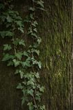 Bark of an old tree with moss and ivy. Leaves of ivy  and moss  covering the trunk Stock Photos