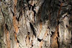 The bark of an old tree nature texture Royalty Free Stock Image