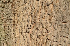 Bark of an old tree. South Bohemia, Czech Republic Royalty Free Stock Image