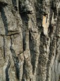 Bark of the old tree texture royalty free stock photo