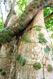 The bark of an old tropical tree. Philippines. Royalty Free Stock Photos