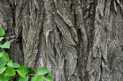 Bark of an old walnut Royalty Free Stock Images