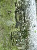 Interesting natural texture - bark of old wood with moss and engraved letters. Bark of old wood with moss and engraved letters - signs in the bark of wood stock photo
