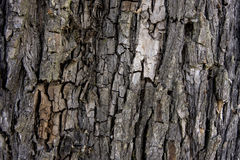 Bark. Old Wood Tree Texture Background Pattern Royalty Free Stock Photo