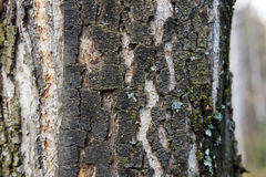 Bark of an olden birch Stock Photo