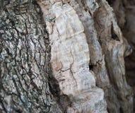 Bark of olive tree Stock Photos
