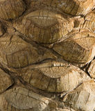 The bark of palm. Near the Red Sea in Egypt Stock Images