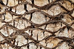 Bark of  palm tree. Stock Photo