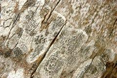 Bark of a Palm tree Stock Photos