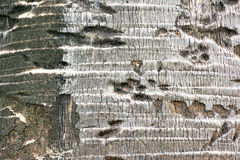 Bark of palm tree texture background. Royalty Free Stock Photography