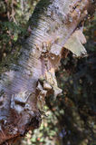 Bark of Paper Birch Royalty Free Stock Images
