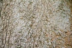 Bark of Parinari anamense Hance tree Stock Photos