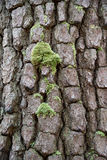 Abstract Wood Texture Bark and moss. Tree bark pattern and green moss Royalty Free Stock Photo