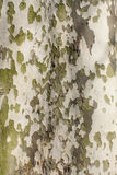 Bark pattern of Plane Tree Royalty Free Stock Photo
