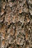 Bark of Pine 2 Stock Photo
