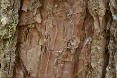 Bark of pine, Bark tree and tree trunk Stock Photos