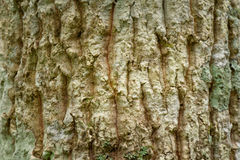 Bark of pine, Bark tree and tree trunk texture Stock Images
