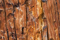 Bark Pine Beetle damage Royalty Free Stock Photos