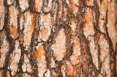 The bark of pine 1 Royalty Free Stock Images