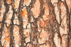 The bark of pine 2. Bright and textured tree bark. Golden shades create a feeling of heat as from sunlight. The characteristic pattern pine bark belongs. Severe Royalty Free Stock Images